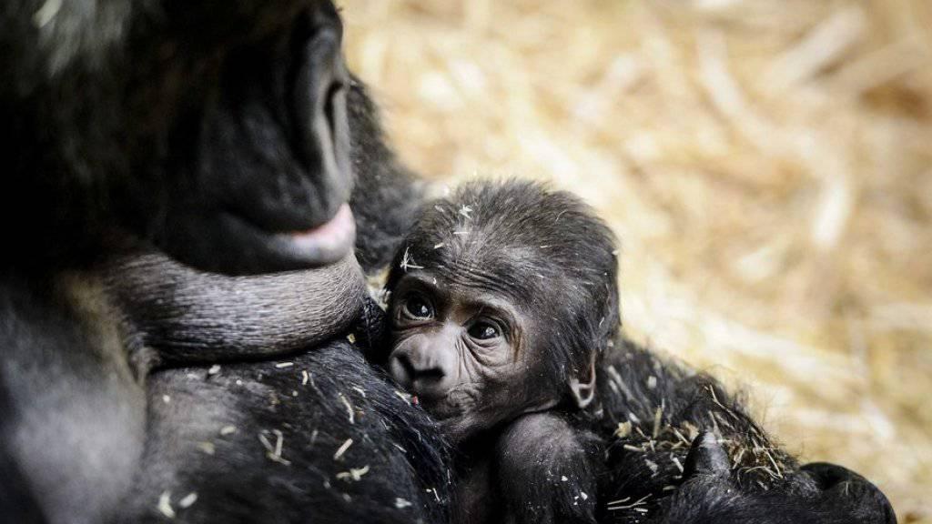 Gorilla-Mutter «Sindy» mit ihrem jüngsten Nachwuchs im Amsterdamer Zoo Artis