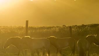 Heute noch existierende Wildpferde wie die Przewalskipferde sind keine Vorfahren des Hauspferdes. Dessen wilde Ahnen durchstreiften vor Jahrtausenden auch die Schweiz.