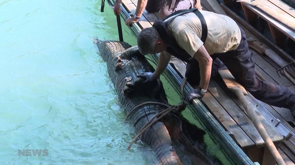 Aare-Krokodil nach Hochwasser endlich wieder aufgetaucht