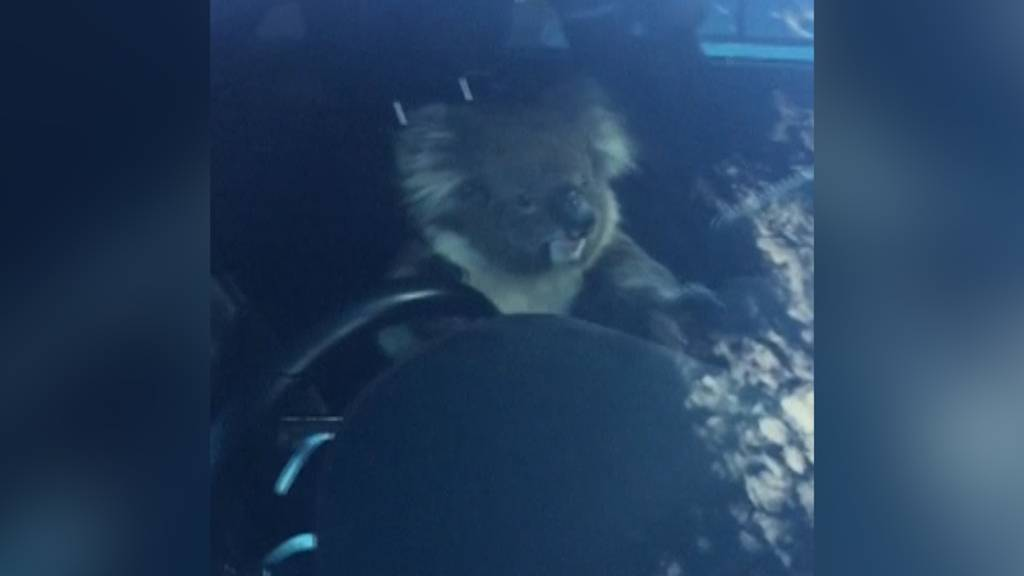 Koala sorgt für Chaos auf Autobahn