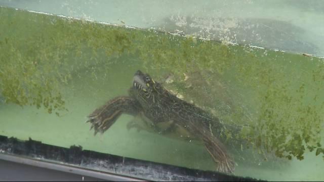 Alleine mit 150 Schildkröten