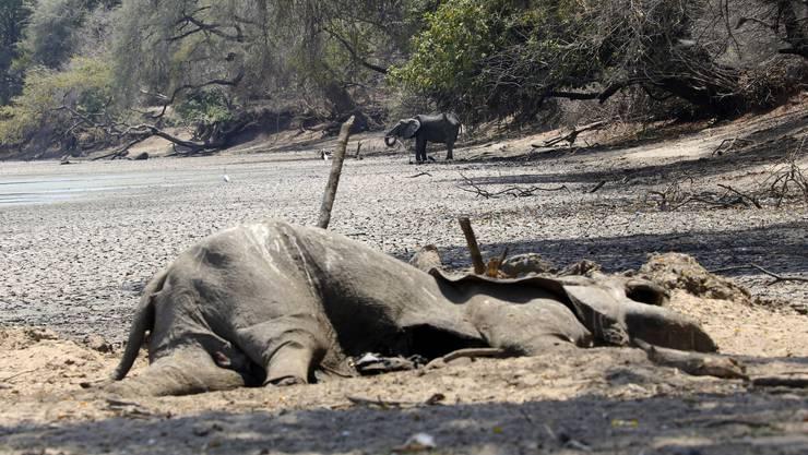 Verstörende Bilder: Der Leichnam eines Elefanten im Mana-Pools-Nationalpark am Rand eines ausgetrockneten Wasserlochs.