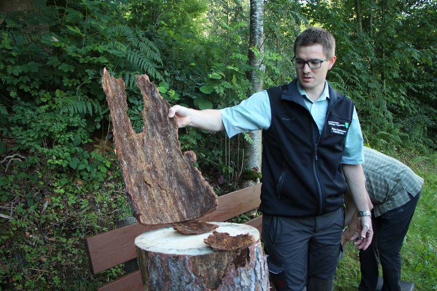 Borkenkäfer müssen bekämft werden, wenn sie noch im Baum sind, sagt Nikolaus Fankhauser, Förster der Waldregion Toggenburg. (Bild: Lara Abderhalden)