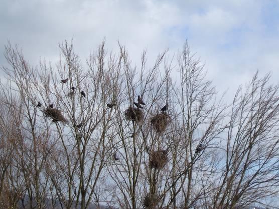 Eine Saatkrähen-Kolonie von 78 Vögeln lebt beim Kantonsspital Aarau.