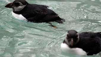 In der niederländischen Nordsee hat es ein rätselhaftes Massensterben von Alkenvögeln gegeben. (Symbolbild)