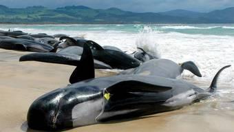 Gestrandete Pilotwale (Bild aus Australien; Archiv)