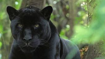 Ein Fell wie Samt, aber Zähne und Krallen, mit denen nicht zu spassen ist: Schwarzer Panther. HO