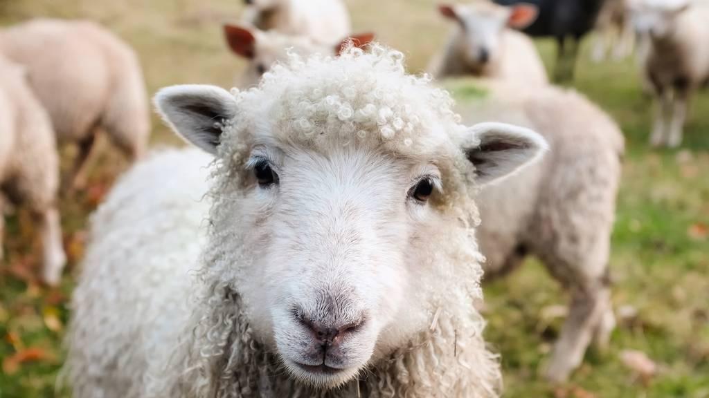 Schafe an französischer Schule eingeschrieben