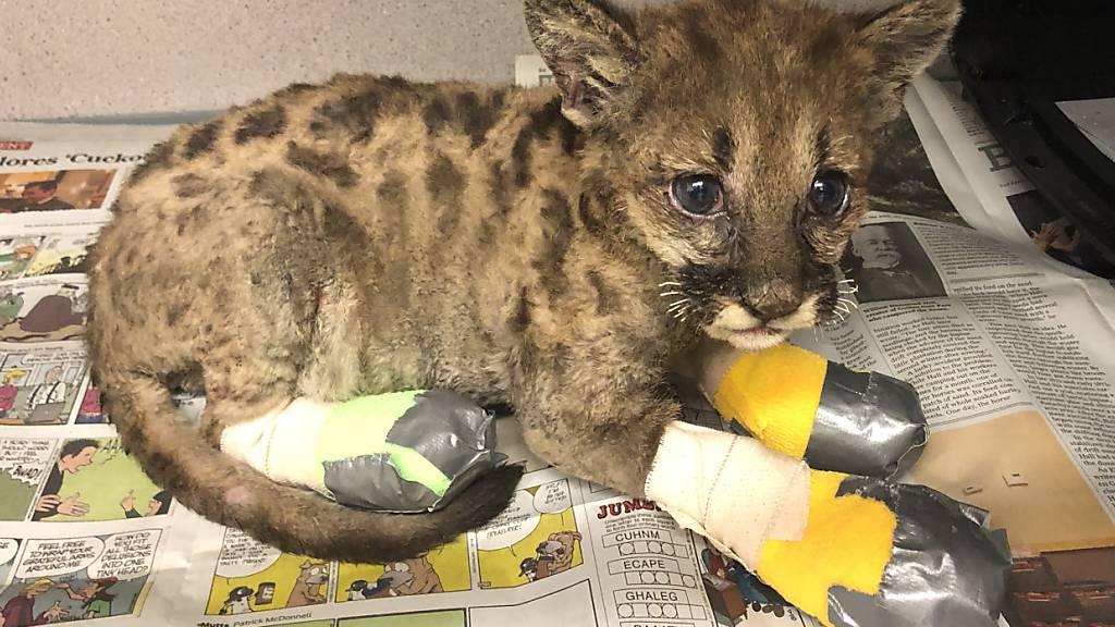 Puma-Baby überlebt Feuer - Kaliforniens Tierwelt leidet