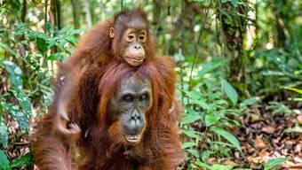 Mama Orang-Utan kümmert sich bis zu acht Jahre um ihren Nachwuchs.