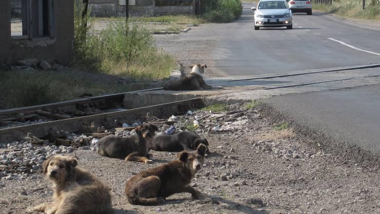 In Rumänien ist das Töten von Strassenhunden erlaubt