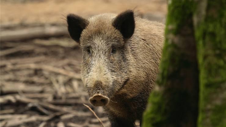 Ein schönes, aber ungern gesehenes Tier: Das Wildschwein tut sich nicht nur an landwirtschaftlichen Kulturen gütlich, sondern kann auch das gefürchtete Schweinepest-Virus übertragen. bz-Archiv