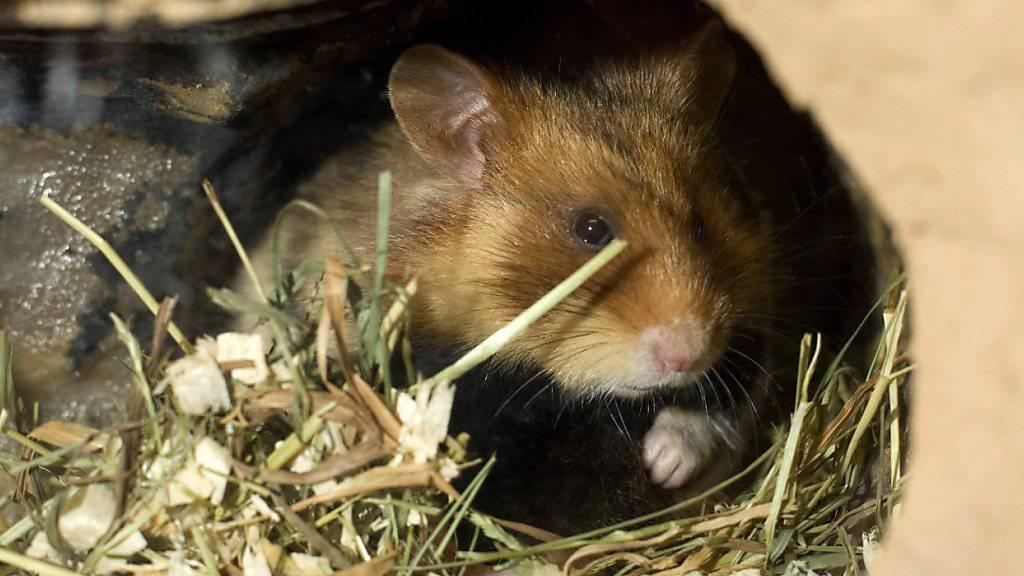 In drei von 100 Schweizer Haushalten leben Kleintiere wie Hamster (Bild). Die nachtaktiven Tiere sehen zwar putzig aus, doch sie können ihren kleinen Besitzern den Schlaf rauben und werden deswegen oft sehr schnell wieder aus dem Kinderzimmer verbannt. (Symbolbild)