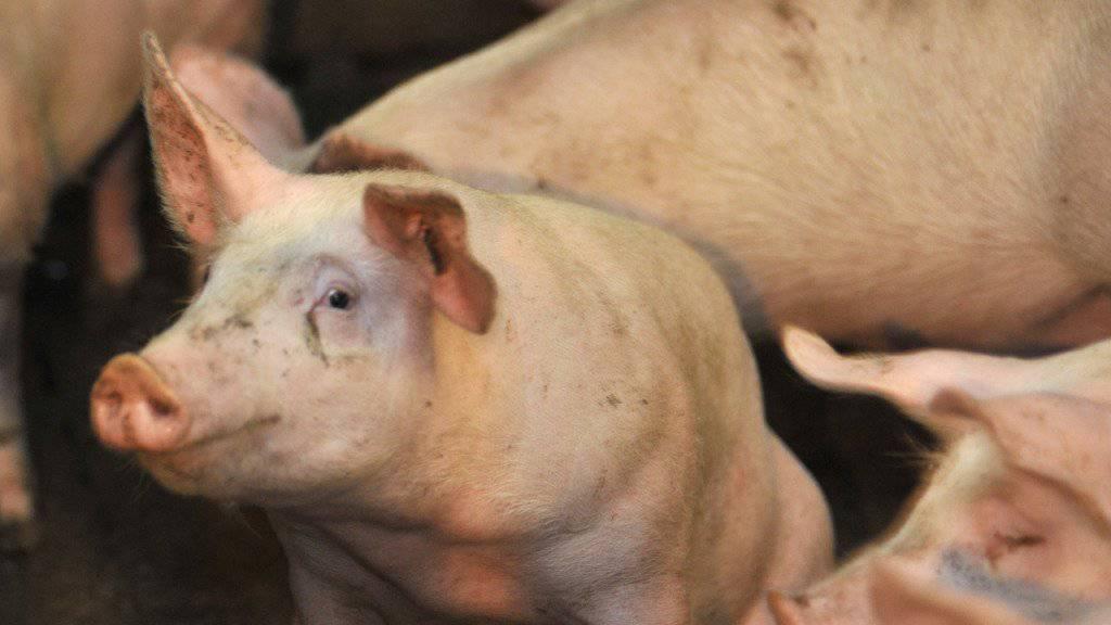 Hepatitis E wird in Industrieländern vor allem durch das Essen von roher Schweineleber übertragen (Symbolbild).