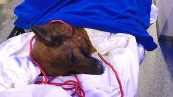 Eingewickelt in warme Decken auf dem Weg ins Tierspital: Rapunzel im Rettungswagen.