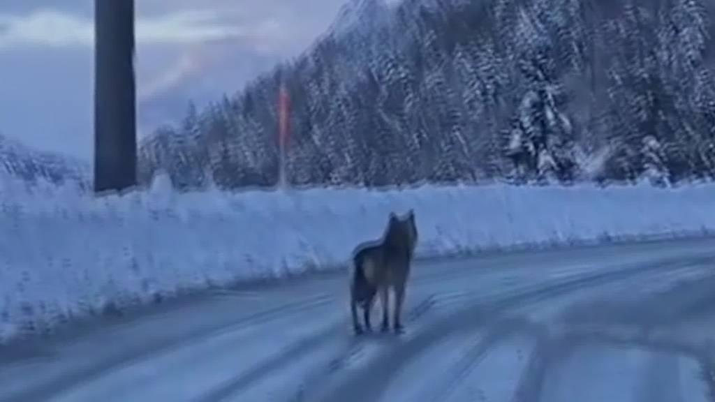 Wegen Schnee: Kommt der Wolf bald in die St.Galler Innenstadt?