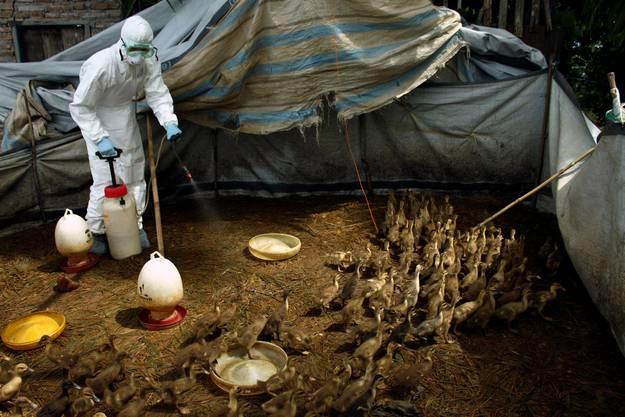Die Welt wartet auf die nächste Grippe-Pandemie. Das Grippe-Virus mutiert schnell. Die Vorhersagen, welcher Virustyp die nächste Grippewelle auslösen wird, liegen oft daneben. Das Vogelgrippe-Virus A/H5N1 wütete laut WHO mit einer Todesrate von gegen 50 Prozent. Die Spanische Grippe von 1918 (Typ A/H1N1) tötete rund 2 Prozent der Erkrankten. Holländische Forscher haben gezeigt, dass der aktuelle H5N1-Typ nur ein paar Mutationsschritte vom Säugetier-Virus weg ist.