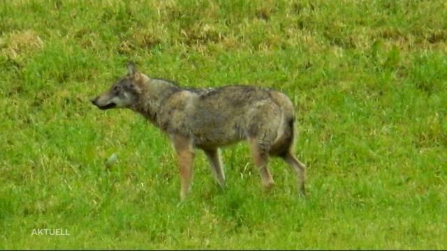 Kommt der Wolf in den Aargau?