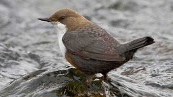Die Wasseramsel ist der Vogel des Jahres 2017.