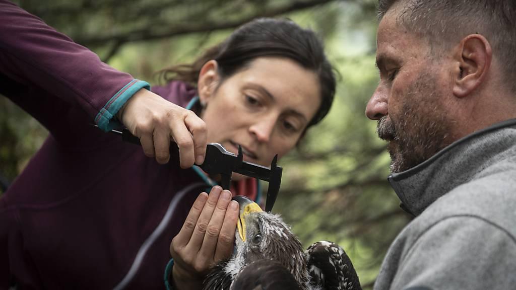 Julia Hatzl und David Jenny von der Vogelwarte Sempach vermessen einen jungen Steinadler, dessen Flugrouten sie mithilfe eines Peilsenders verfolgen werden.