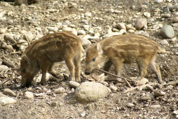 Die Wildschweinferkel erkunden die Umgebung. (August 2012)