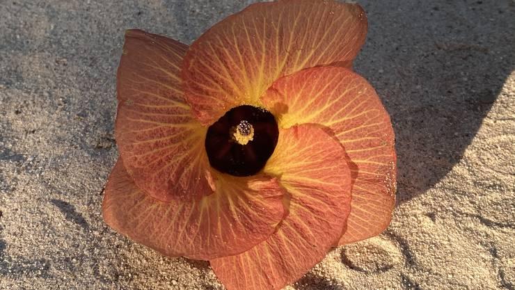 Wilde Hibiscusblüte auf dem Sand