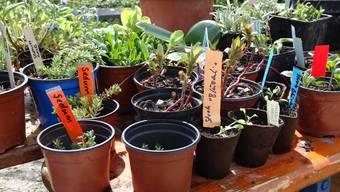 Dickblattgewächse, Gemüsesetzlinge oder Kräuter: An der Pflanzentauschbörse von Bioterra wird alles gehandelt.