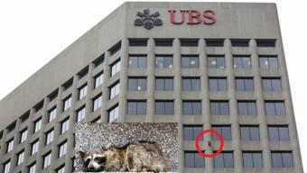 Der Waschbär kletterte am Gebäude mehrere Etagen hoch. Er ruhte sich in einer Nische an der Aussenfassade aus.