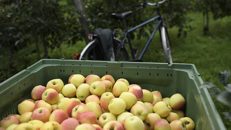 Ist die Ernte für die Besitzer der Bäume zu aufwendig, kümmert sich das Erntenetzwerk mit freiwilligen Helfern um die Äpfel. (Symbolbild)