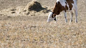 Vor allem in der Westschweiz, hier ein grasendes Rind in Chavornay VD, war das abgelaufene hydrologische Jahr zu trocken. (Archivbild)