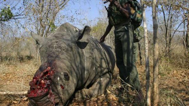 Ein von Wilderern getötetes Nashorn in Südafrika (Archiv)