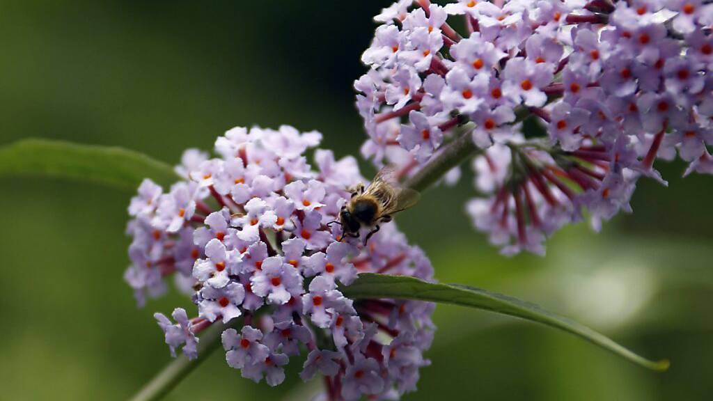 Das Parlament will den Verkauf von invasiven Neophyten wie dem Sommerflieder (Bild) verbieten.