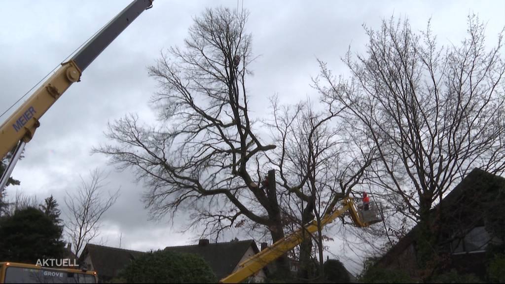 Naturschützer chancenlos: 110-jährige Eiche in Aarau wurde gefällt