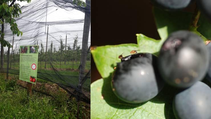 Netze sollen die Plantagen auch vor den Kirschessigfliegen schützen.