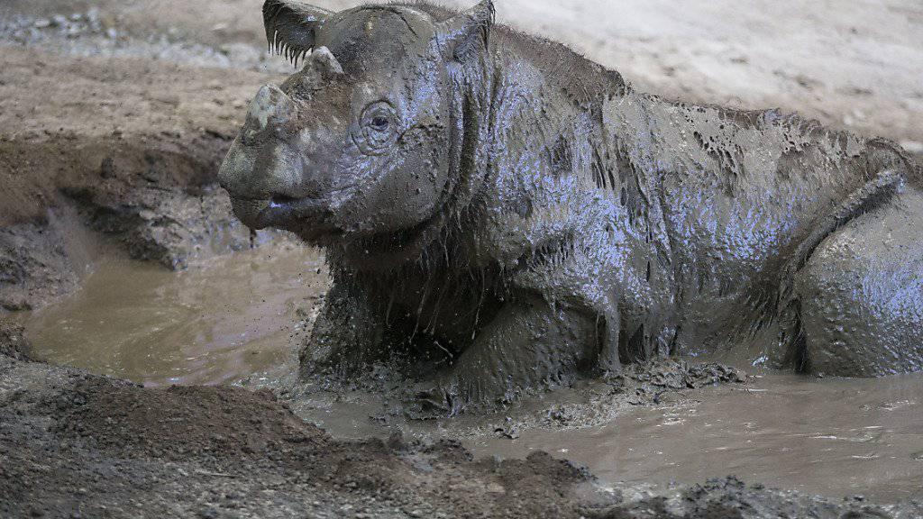 Ein Sumatra-Nashorn im Zoo von Cincinnati - sein Artgenosse in freier Wildbahn in Indonesien starb kurz nach seiner Entdeckung. (Archivbild)