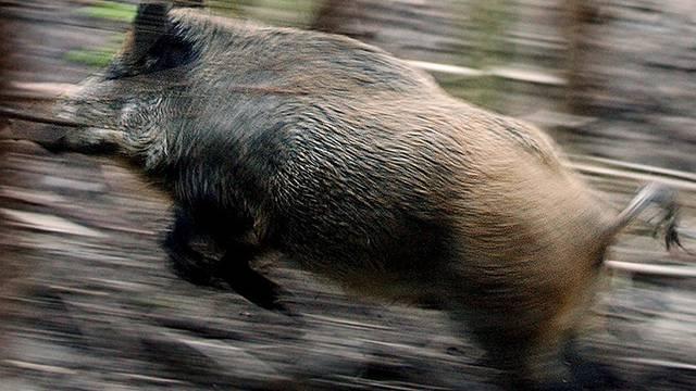 Wildschwein auf der Flucht (Archiv)