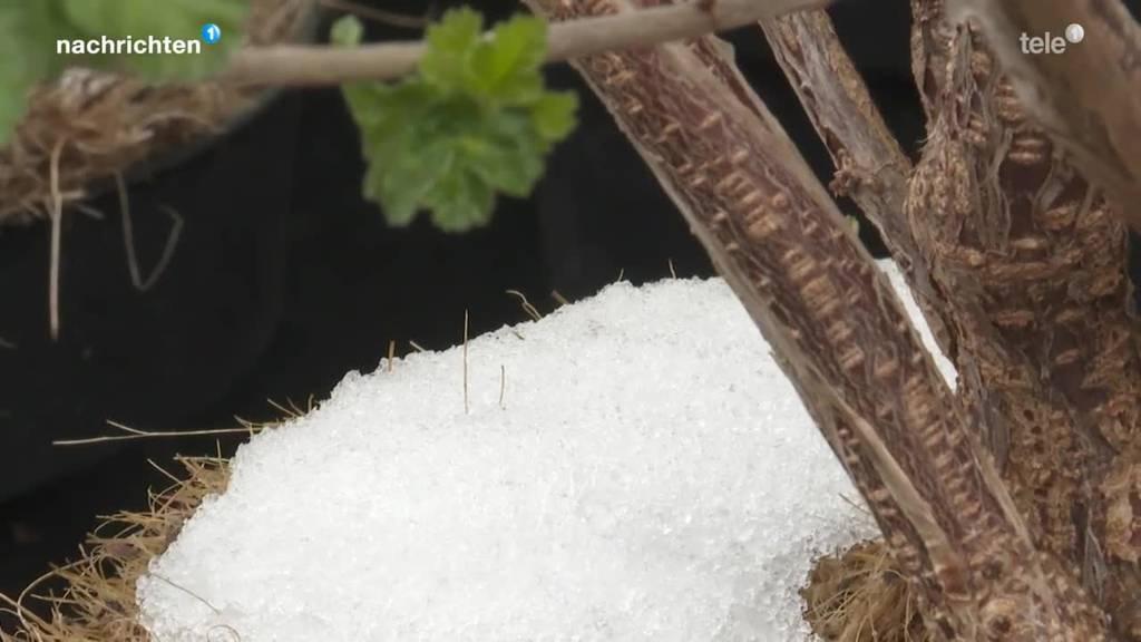 Killt der Wintereinbruch die frischen Pflanzen?