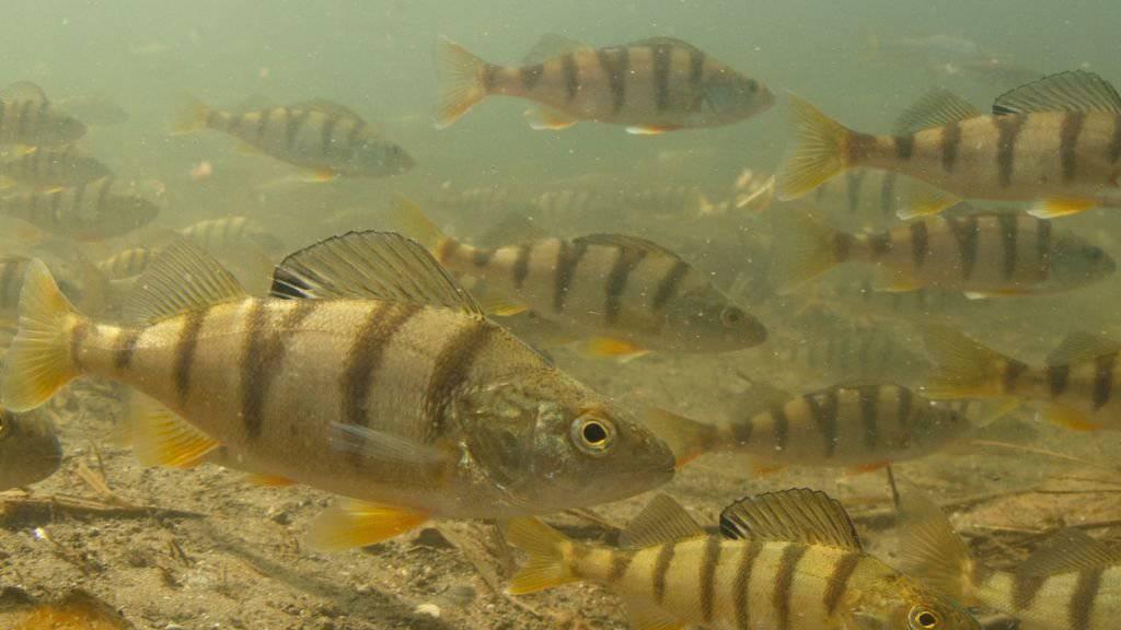 Das Egli, der beliebteste Speisefisch in der Schweiz, ist vom Fischerei-Verband zum Fisch des Jahres 2019 bestimmt worden.