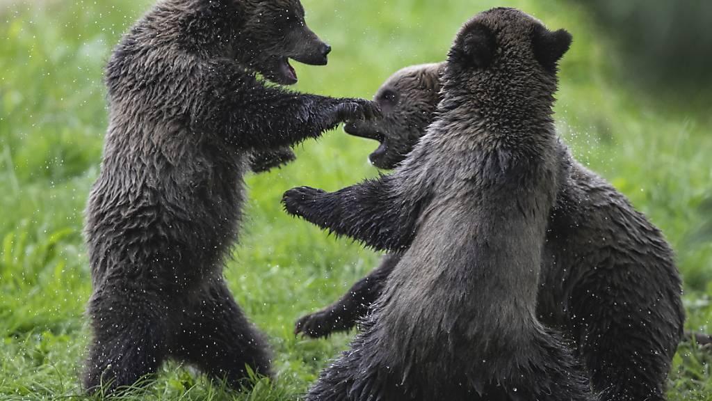 Amerikanerin muss wegen Bärenfoto ins Gefängnis
