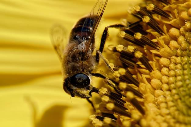 Bienen lieben den Nektar von Sonnenblumen