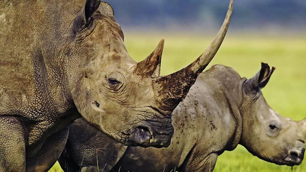 Im Jahr 2018 wurden in Südafrika 769 Nashörner gewildert, ein Viertel weniger als im Jahr zuvor. (Archivbild).