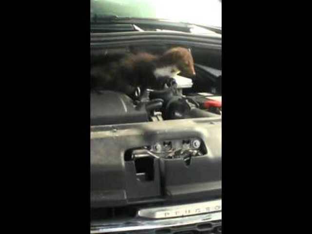 Marder im Auto erwischt