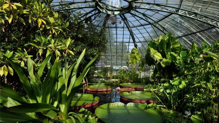 Die überdimensionierte Kuppel des Viktoriahauses im Botanischen Garten in Basel, gleich beim Spalentor, wurde gebaut für die berühmten Riesen-Seerosen mit ihren Blättern von bis zu zwei Meter Durchmesser. Noch muss man sich bis Mai gedulden, um die «schwimmenden Kuchenbleche» bewundern zu können. Sie werden jeweils im Februar ausgesät. Doch gedeihen genügend andere Sumpf- und Wasserpflanzen in dem kuppelförmigen Glasbau aus dem Jahr 1898. Etwa die gerade blühenden Nymphoides indica oder Spiranthes spiralis. Und auch im Tropenhaus des ältesten botanischen Gartens der Schweiz (er wurde 1589 von Caspar Bauhin am «unteren Kollegium» am Rheinsprung gegründet) streift man durch eine Wunderwelt an Pflanzen. Welch eine Vielfalt an Grüntönen, an Strukturen, an Formen! Ein Paradies für die darin lebenden Vögel. Feenvögel fliegen zwischen den Palmen und Orchideen, und Schamadrosseln unterhalten mit ihrem wohlklingenden Gesang. Mitte Jahr erhalten sie ein neues Zuhause, dann wird der alte Bau durch einen neuen ersetzt.