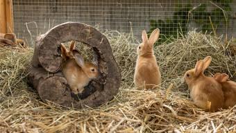 Unbekannte Täter liessen in Oberwil Kaninchen frei.