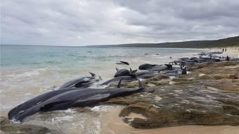 An Australiens Westküste sind rund 150 Wale gestrandet. Bereits 2009 haben sich vor derselben Bucht über 80 Wale und Delfine verirrt. Für die meisten kam jede Hilfe zu spät. L. Hollowood/Reuters.
