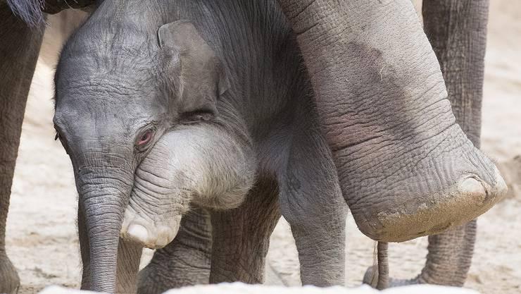 Das Elefantenbaby kam am Samstagmorgen im Zürcher Zoo zur Welt.