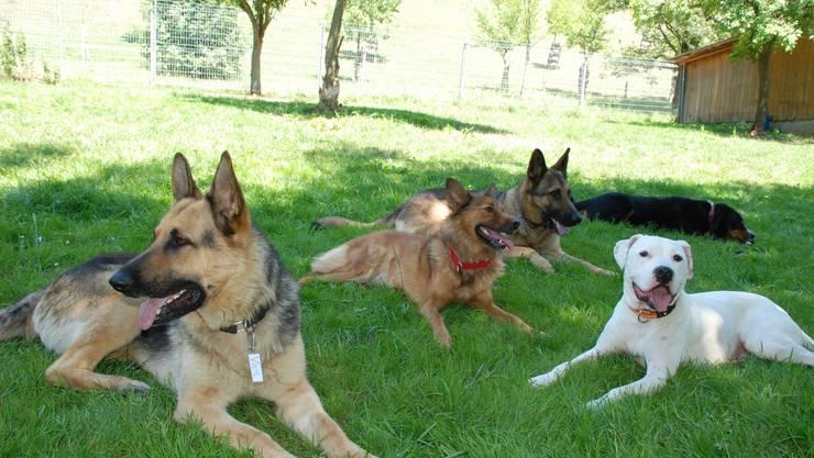 Besuch beim A3-Tierferienplatz Scherer in Mülligen: Diese Hunde fühlen sich, trotz Hitze, sichtlich wohl.