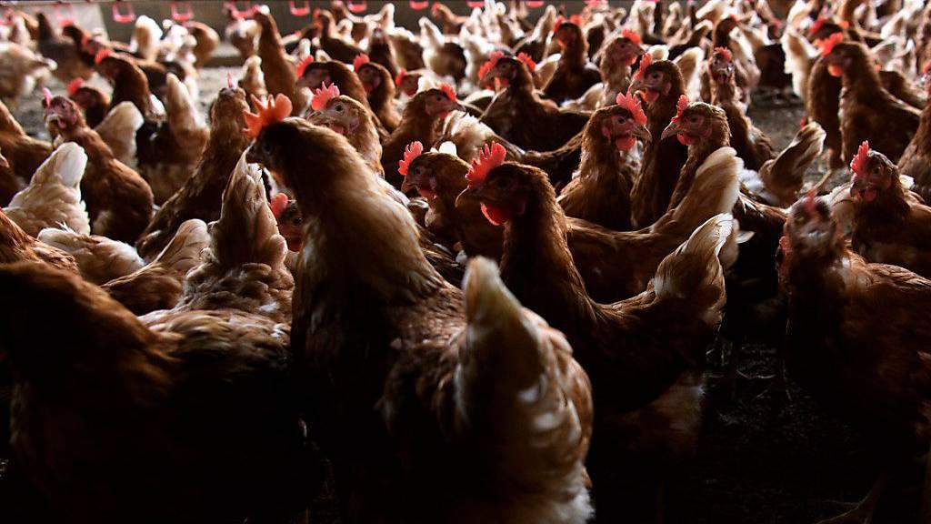 Hunderte Hennen in Frankreich und Dänemark getötet