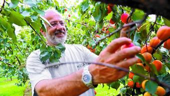 Freudige Ernte: Martin Birrer pflückt die reifen Aprikosen sorgfältig vom Baum. Fotos: Oliver Menge