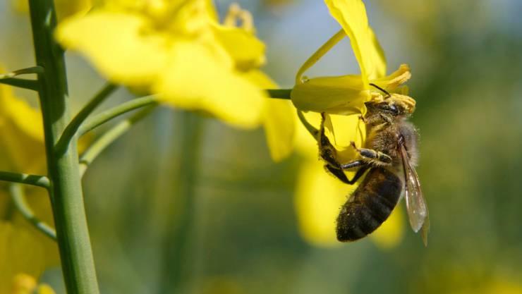 Eine Honigbiene beim Sammeln von Pollen von einer Raps-Blüte. Im italienischen Udine soll es wegen übermässigem Pestizid-Einsatz zu einem Bienensterben gekommen sein. (Symbolbild)
